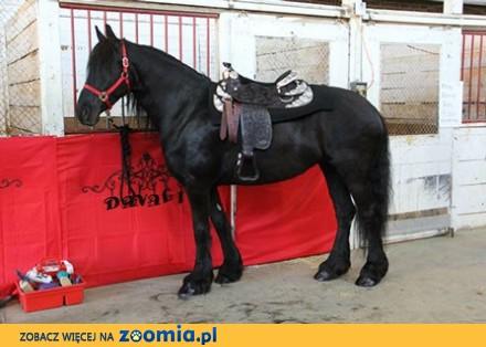 Czarny młody koń fryzyjski Klacz gotowy do nowego domu