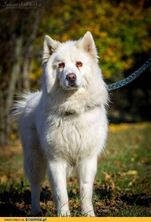 Sam - zjawiskowy, piękny mix alaskan / husky szuka domu