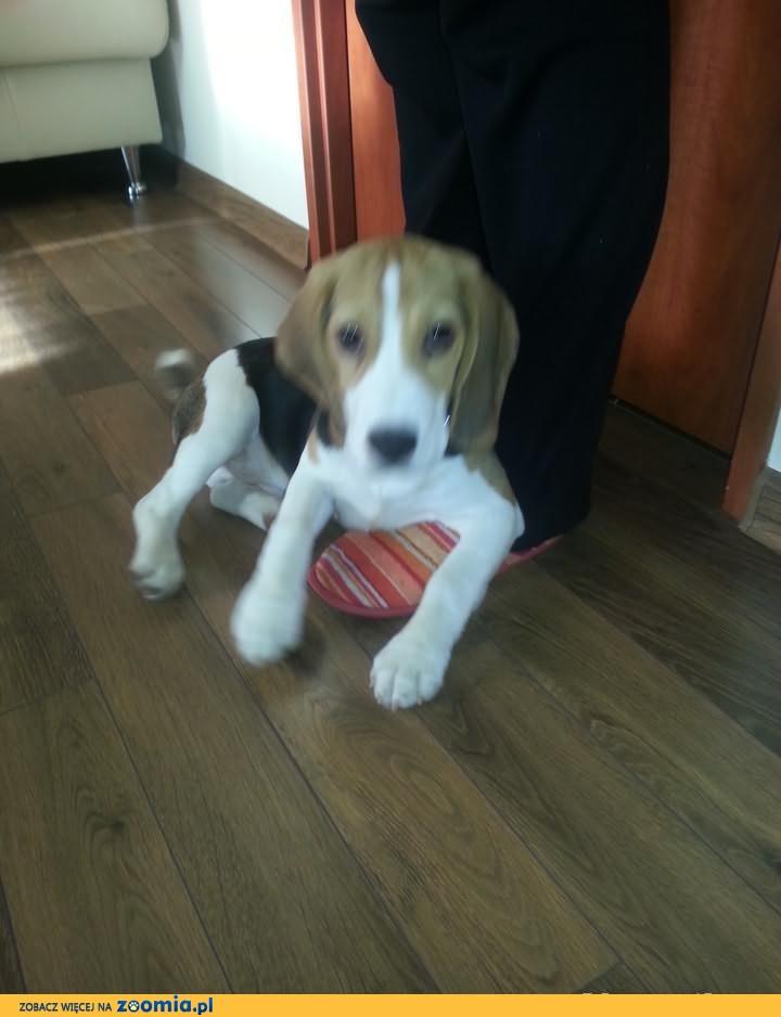 Sprzedam psa szczeniaka rasy BEAGLE tricolor HODOWLA