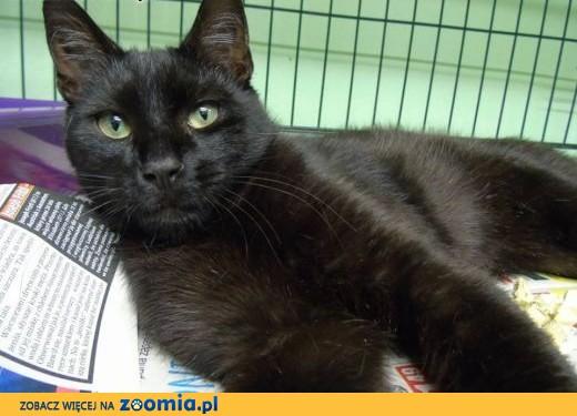 Kitek to klasyczne czarne piękno w czystej postaci.,  mazowieckie Warszawa