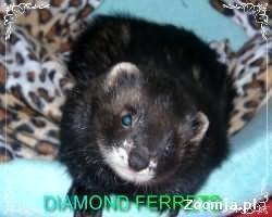 Domowa Hodowla Fretek Diamond Ferrets 2012