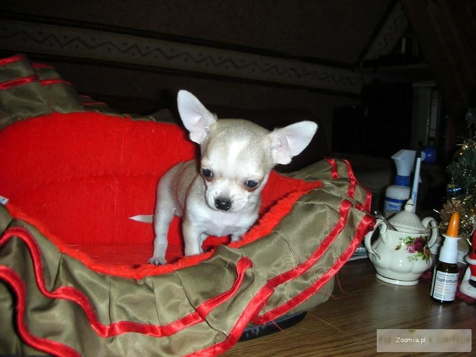 Chihuahua -śliczne maluszki