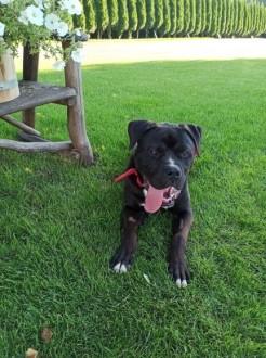 Zeus  młody  zapatrzony w człowieka pies szuka domu!