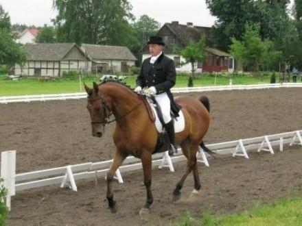 Koń  ujeżdżeniowy   podlaskie Dąbrowa Białostocka