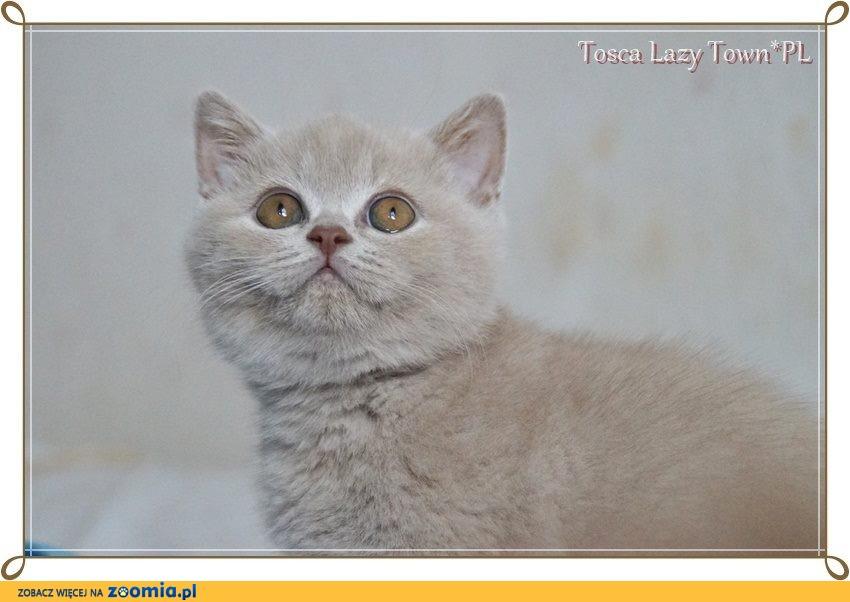Kotka brytyjska kocięta międzynarodowy rodowód WCF