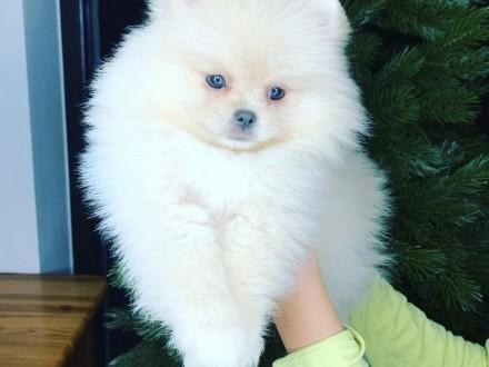 Pomeranian / Szpic Miniaturowy Szczenięta