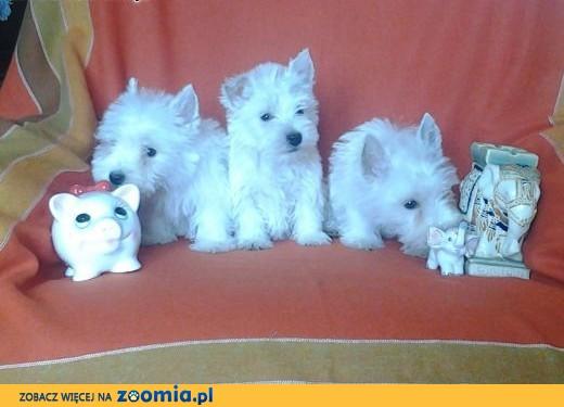 West Highland White Terrier szczeniaki z metryką,  West highland white terrier cała Polska