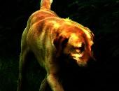 Kostek skrzywdzony labrador szuka domu