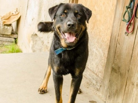 Dyrektor – wspaniały pies  rottweiler do adopcji