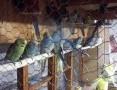 Papugi Faliste Swiergoty Nimfy