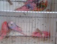 Papużki faliste MEGA KOLOR