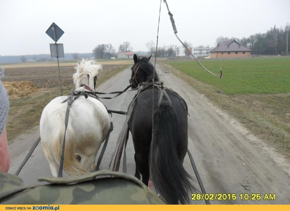 Konie Klacze Polski Koń Szlachetny półkrwi