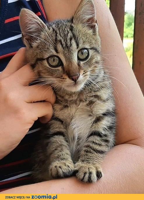 Maluśki tygrysek za darmo! :),  warmińsko-mazurskie Olsztyn