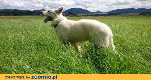 Modne ubrania Biały owczarek szwajcarski do adopcji, dolnośląskie Wrocław DA15