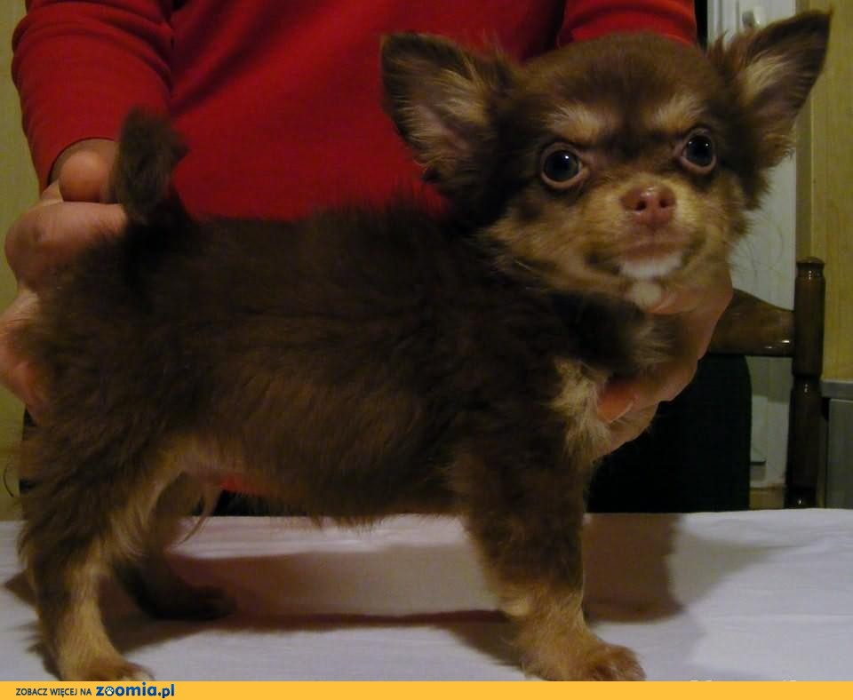 Chihuahua długowłosa - czekoladowy piesek