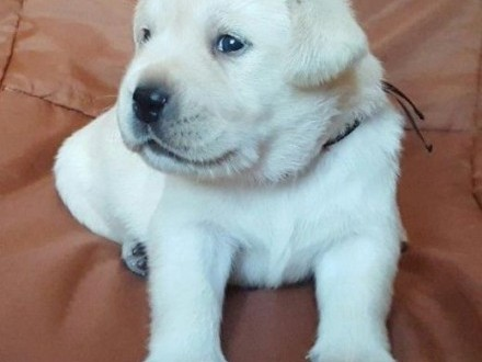 labardor biszkoptowe szczenięta już wkrótce do odboru ZKwP/FCI   Labrador retriever cała Polska