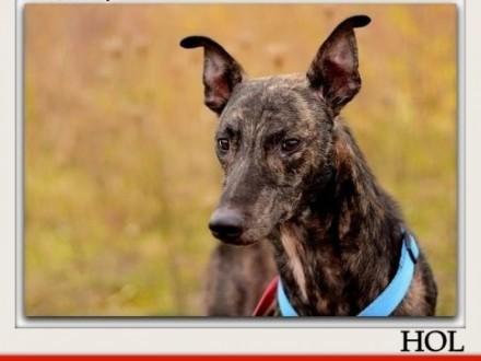 Duży spokojny w typie charta przekochany szczepiony pies HOLAdopcja    śląskie Katowice