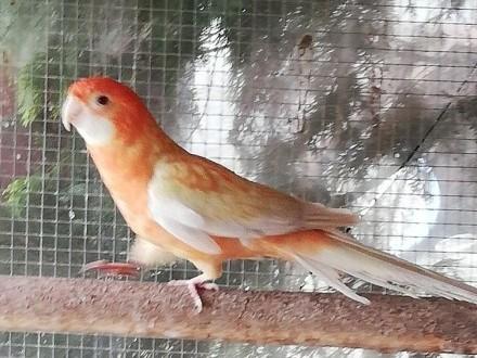 Rozella królewska ptaki z tego roku