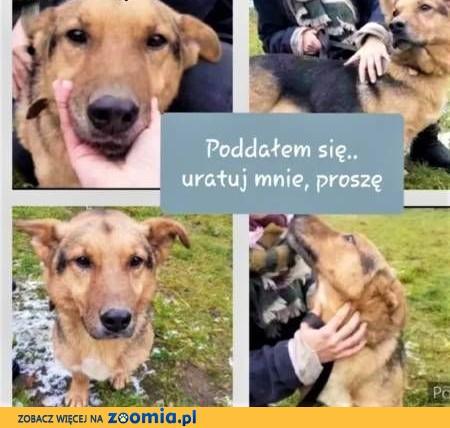 BOSKI - bez człowieka umrze w schronisku z tęsknoty, ADOPTUJ!,  mazowieckie Warszawa