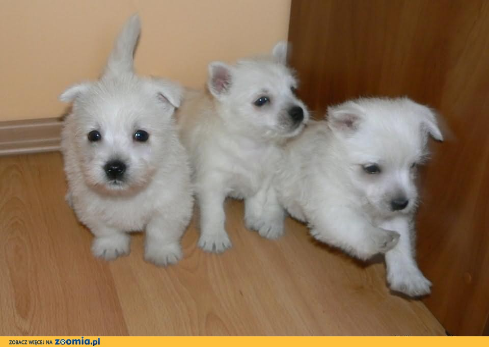 West Highland White Terrier!