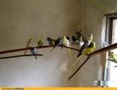 Papugi Nimfy młode i dorosłe pary