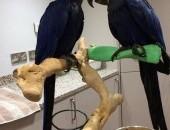 niebieski mówić ara papugi,  Papugi inne cała Polska