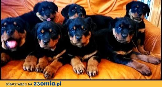 Rottweiler po championie FCI,  łódzkie Radomsko