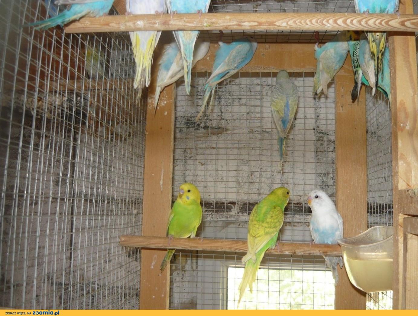 Papużki faliste 2019
