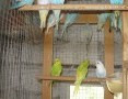 'Papużki faliste 2019