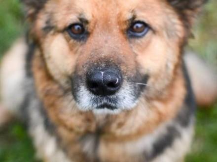 Grzeczna  przyjazna Berta  lubiąca inne psy sunia mix owczarek