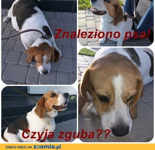 ZNALEZIONO psa beagle!,  kujawsko-pomorskie Żnin