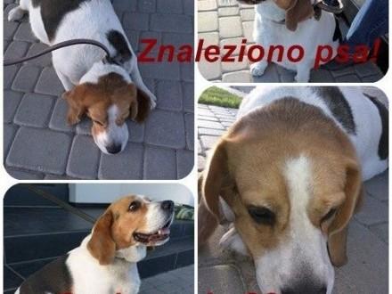 ZNALEZIONO psa beagle!   kujawsko-pomorskie Żnin