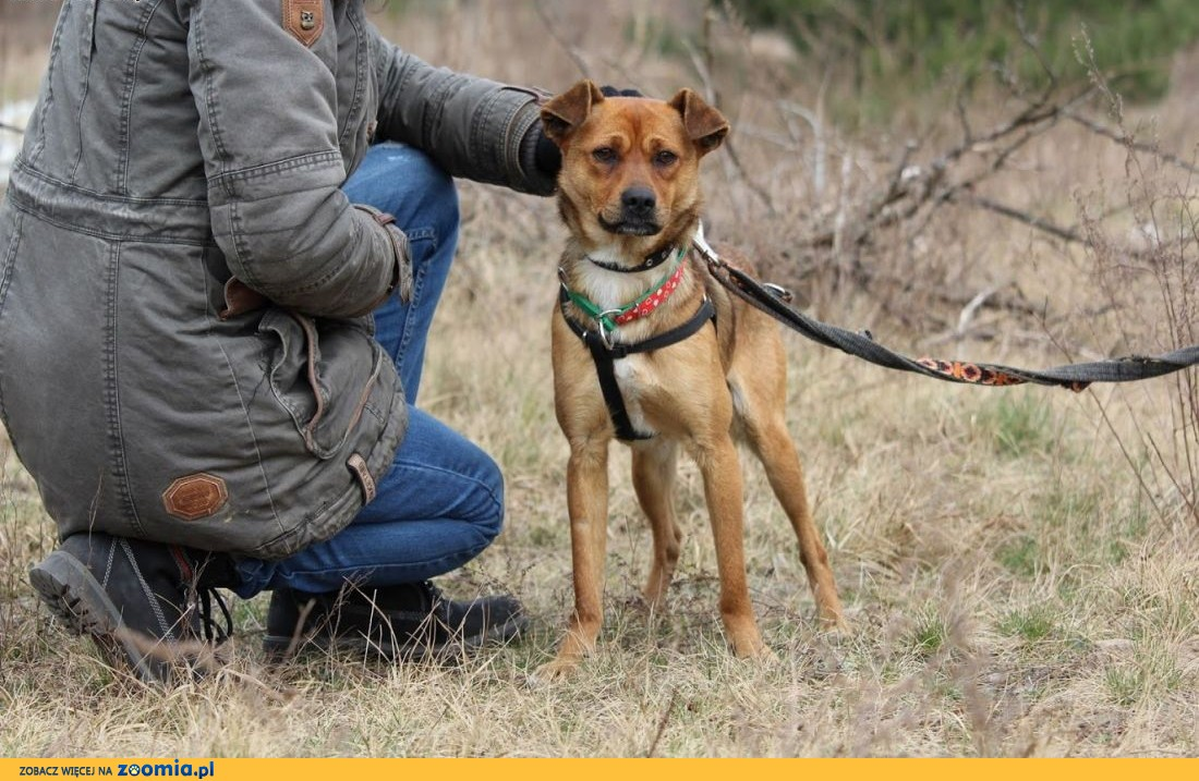 Rico-przyjacielski,młodziutki,nieduży psiak szuka domu,  mazowieckie Warszawa