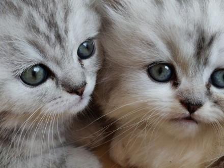 Kocięta szynszylowe