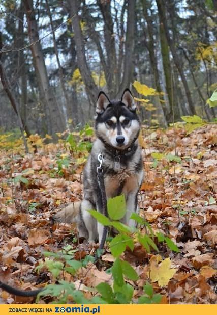 Maki - urocza sunia w typie Siberian Husky szuka domu