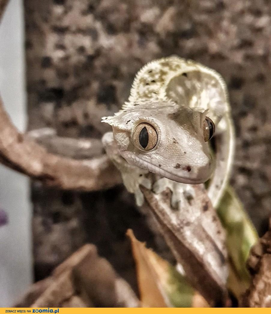 Gekon orzęsiony - malychy i dorosłe + Repashy - specjalistyczna karma