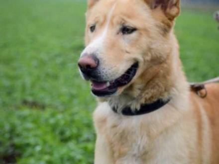 Przepiękny Marcel  biszkoptowe cudo  przyjazny pies!