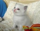Kochane Ragdolle z hodowli Teo-Cat*PL
