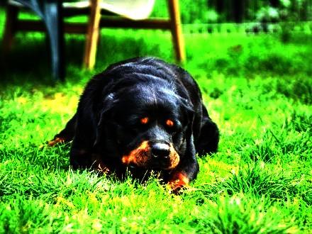 Gonzo - grzeczny rottweiler do adopcji