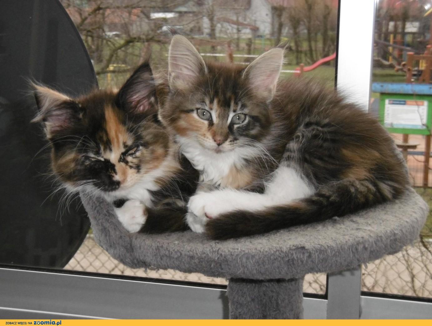 Puchate Kocięta z Koci Świat MCO