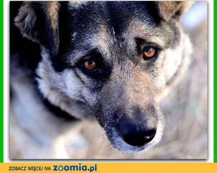 Średni  bardzo grzeczny łagodny delikatny spokojny pies SOLAR_Adopcja
