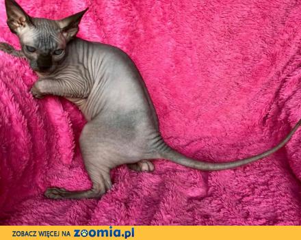 Cudowne kocięta rasy Sfinks Sphynx Canadian  Warszawa