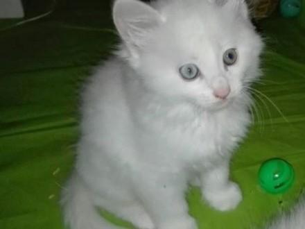 Sprzedam prześliczne kocięta,  mazowieckie Warszawa