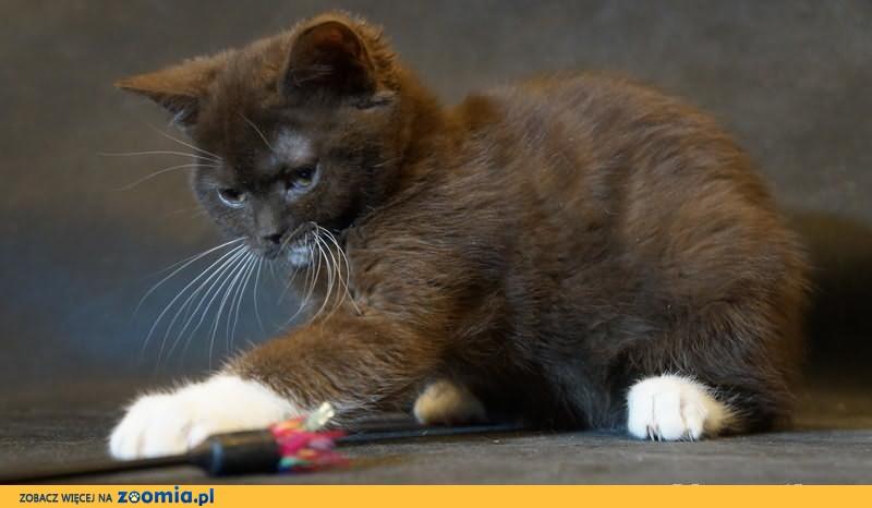 Kocięta Brytyjskie - Gotowe do odbioru !