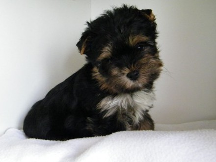 Yorkshire terrier - york piesek