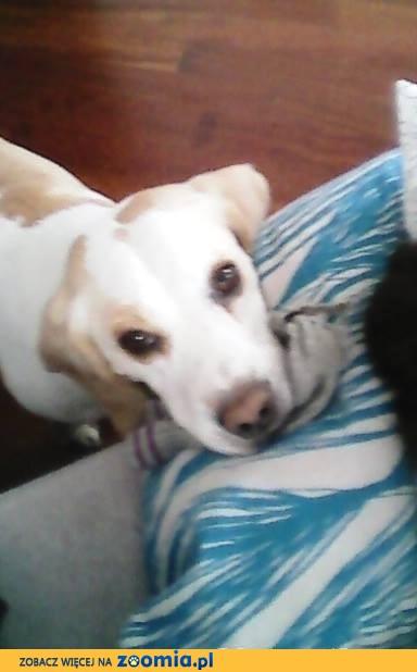 Beagle Bilon bicolor