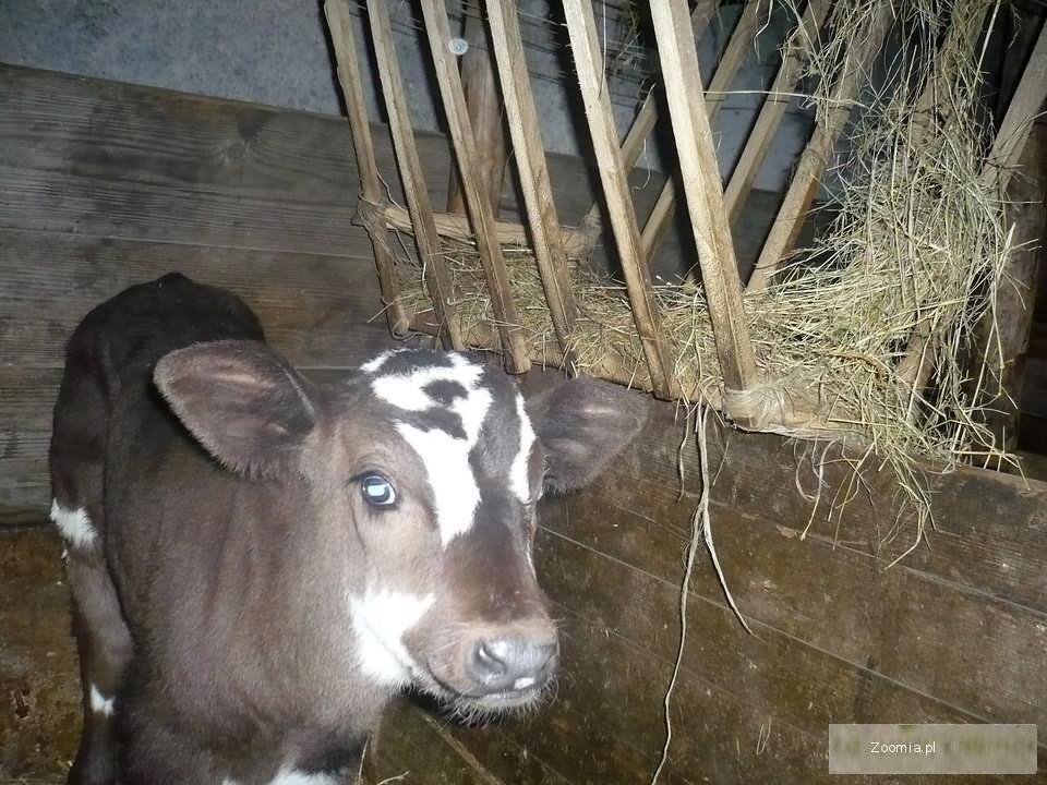 Byk czarno-biały byczek 2-tygodniowy