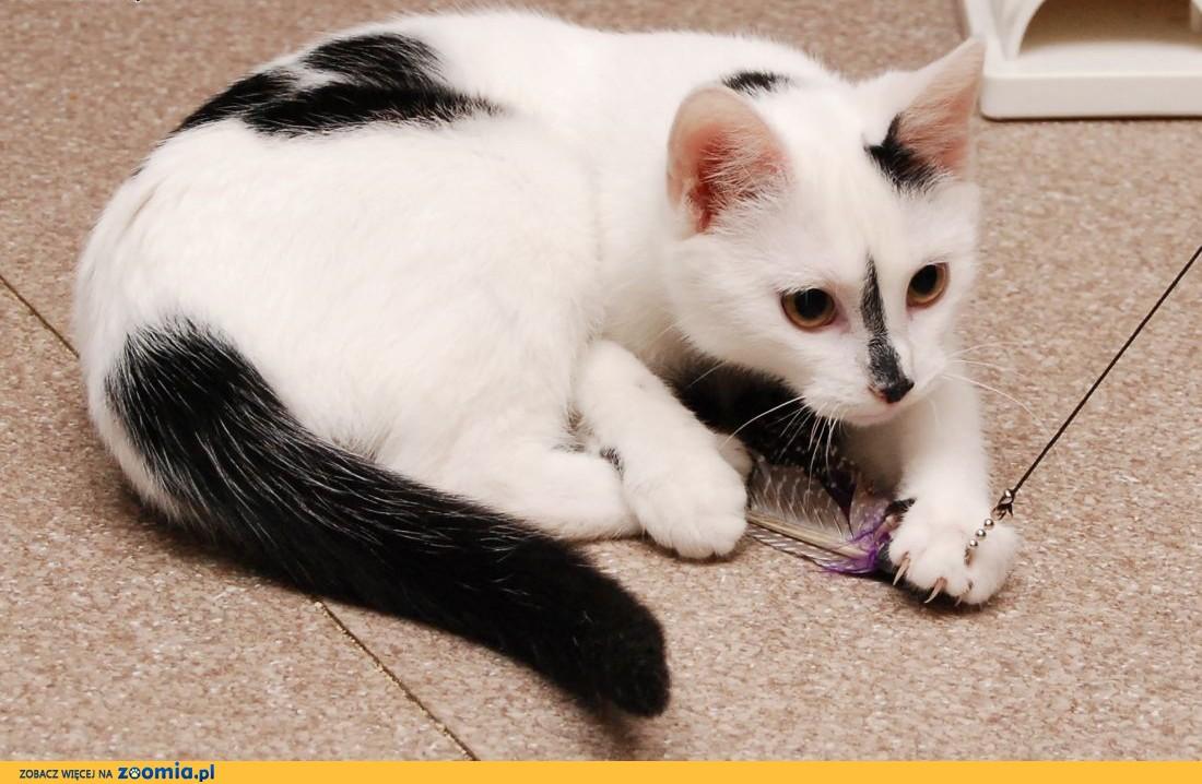 Kociak Fiona szuka kochającej rodziny!,  wielkopolskie Poznań
