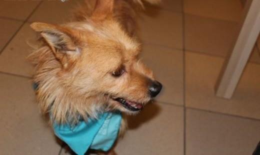 Mały słodziak TOFIK Norwich Terrier do adopcji   Teriery cała Polska