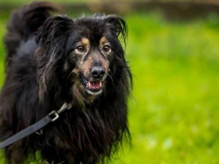 Szwej piękny  łagodny pies do adopcji